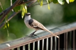 Hot Springs National Park Promenade Mockingbird Hookbeak