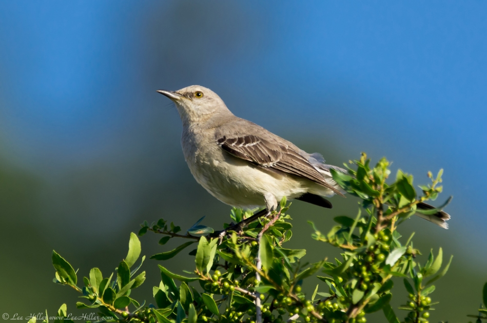 Hot Springs National Park Promenade Juvenile Mockingbird