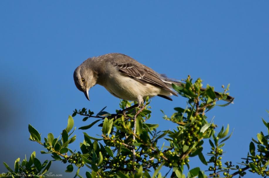 Hot Springs National Park Promenade Juvenile Mockingbird