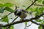 Hot Springs National Park Promenade Carolina Chickadee