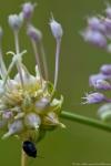 Hot Springs National Park Promenade Field Garlic