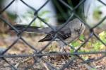 Hot Springs National Park Promenade Mockingbird