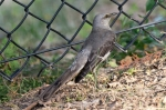 Hot Springs National Park Promenade Mockingbird