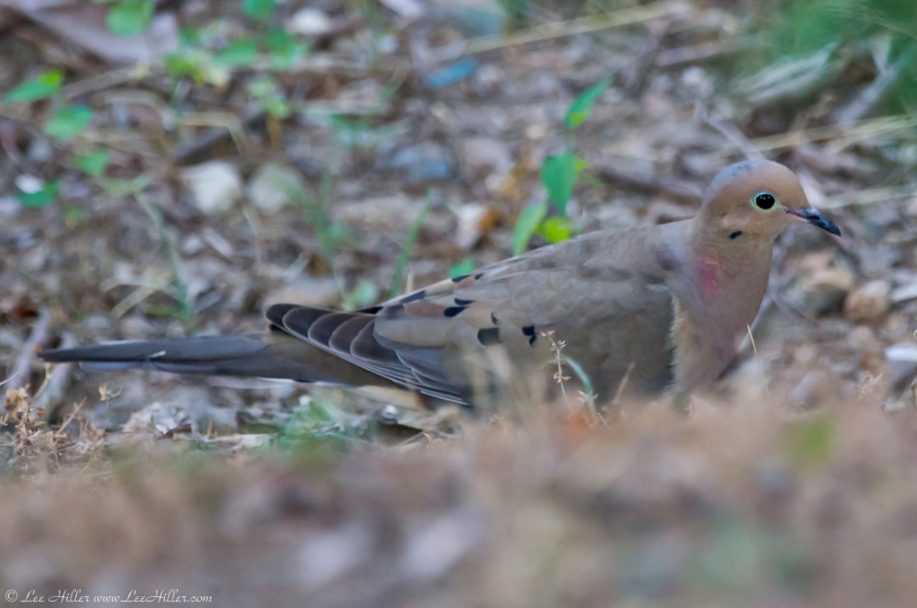 Hot Springs National Park Promenade Mourning Dove