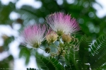 Hot Springs National Park Promenade Mimosa