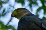 Hot Springs National Park Promenade Sharp-Shinned Hawk