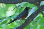 Hot Springs National Park Promenade Robin