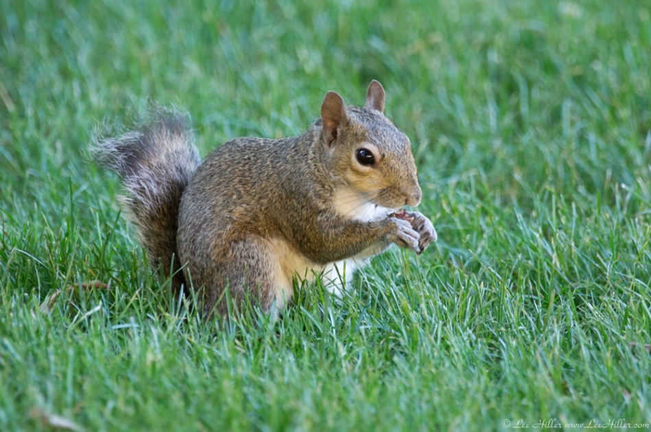 HSNP Arlington Lawn Bob Tail Squirrel