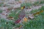 HSNP Arlington Lawn Young Female Cardinal