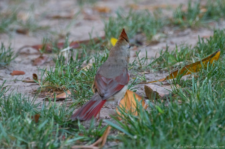 HSNP Arlington Lawn Young Female Cardinal