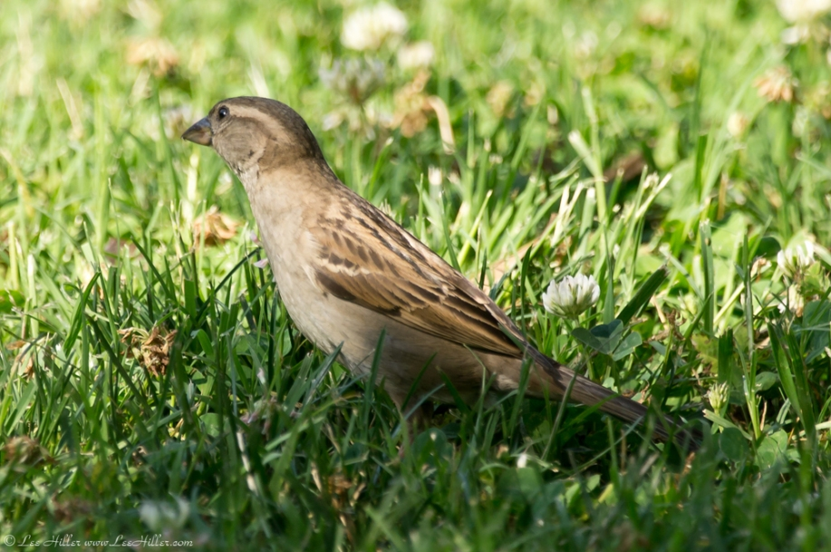 HSNP Arlington Lawn Young Female House Sparrow