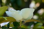 HSNP Arlington Southern Magnolia