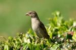 HSNP Entrance Female House Sparrow