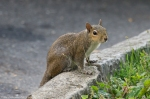 HSNP Fountain Street Bob Tail Squirrel