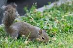 HSNP Fountain Street Bob Tail Squirrel