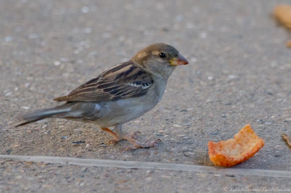 HSNP Fountain Street Youg Female House Sparrow