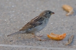 HSNP Fountain Street Youg Female House Sparrow