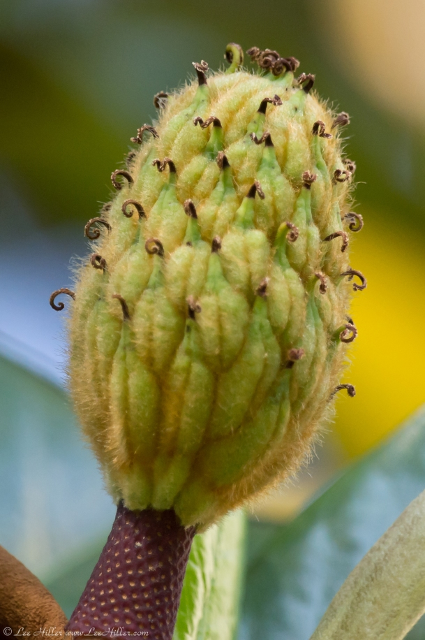 HSNP Fountain Street Lawn Southern Magnolia Seed Pod