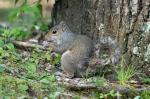 HSNP Fountain Trail Lawn Squirrel