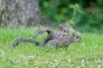 HSNP Fountain Trail Lawn Squirrels