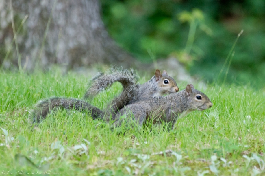 HSNP Fountain Trail Lawn Squirrels
