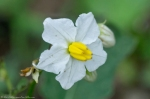 HSNP Hot Springs Mountain Road Horse Nettle