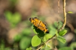 HSNP Hot Springs Mountain Road Pearl Crescent Butterfly