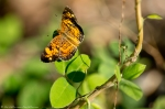 HSNP Hot Springs Mountain Road Orange Butterfly
