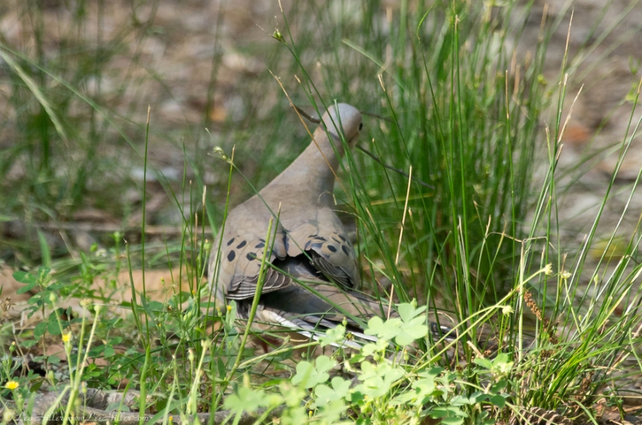 HSNP Hot Springs Mountain Trail Mourning Dove