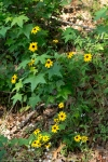 HSNP North Mountain Loop Black-Eyed Susan