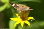 HSNP Hot Spring Mountain Road Butterfly Tickseed Sunflower