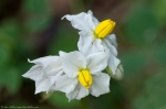 HSNP North Mountain Loop Horse Nettle
