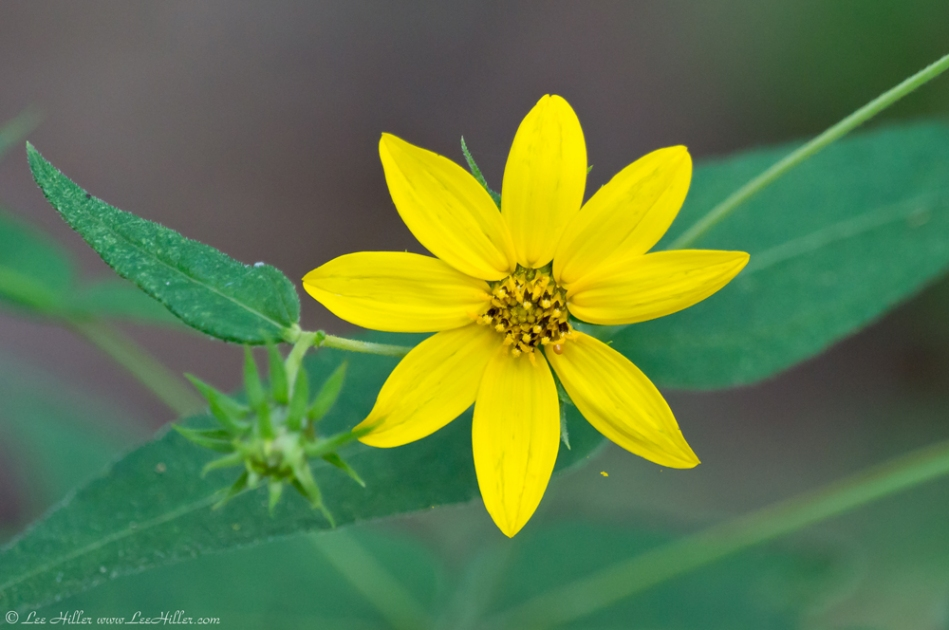 HSNP North Mountain Loop Tickseed Sunflower