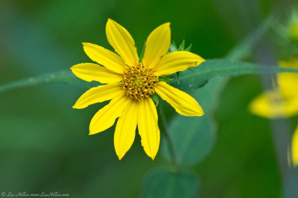 HSNP North Mountain Loop Woodland Sunflower
