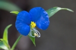 HSNP Peak Trail Asiatic Dayflower