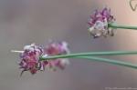 HSNP Peak Trail Magenta Wildflower