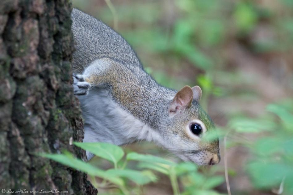 HSNP Peak Trail Squirrel