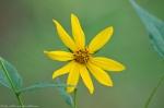 HSNP Upper Dogwood Trail Woodland Sunflower