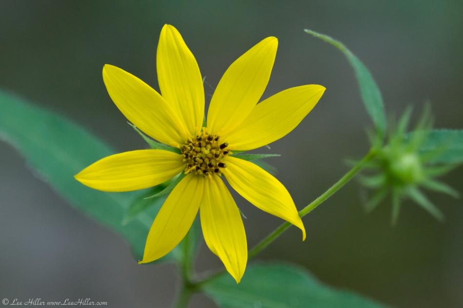 HSNP Hot Springs Mountain Road Woodland Sunflower