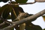 HSNP Arlington Lawn Young House Sparrow