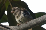 HSNP Arlington Lawn Young House Sparrow