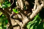HSNP Arlington Lawn Male House Sparrow