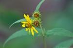 HSNP Floral Trail Woodland Sunflower