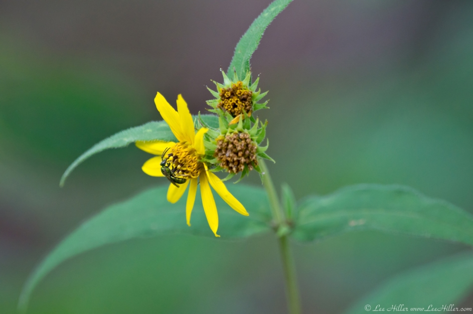HSNP Floral Trail Woodland Sunflower