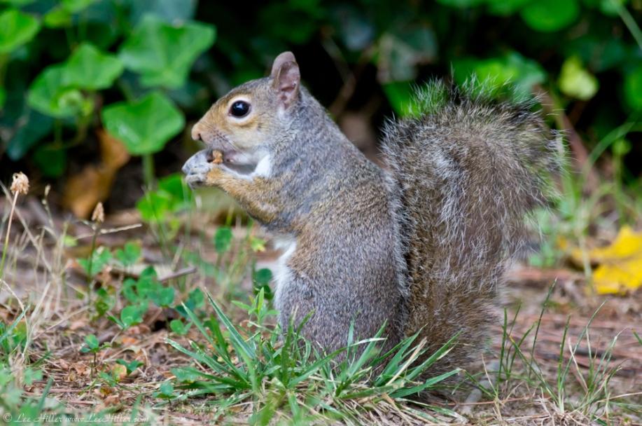 HSNP Fountain Street Lawn Squirrel