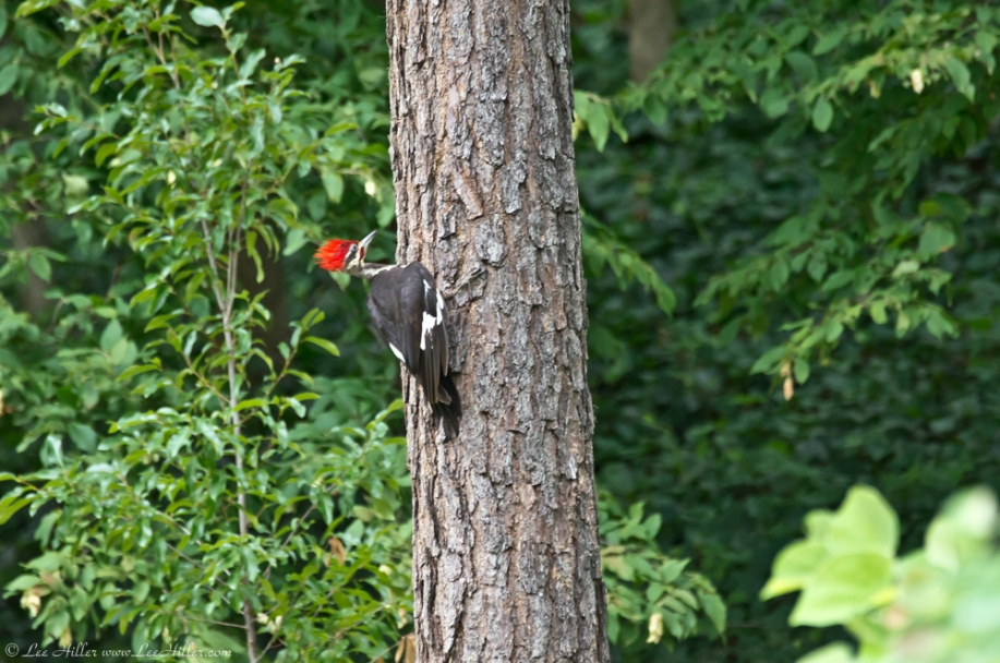 Hot Springs National Park Pileated Woodpecker