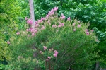 Fountain Street Pink Flowering Bush