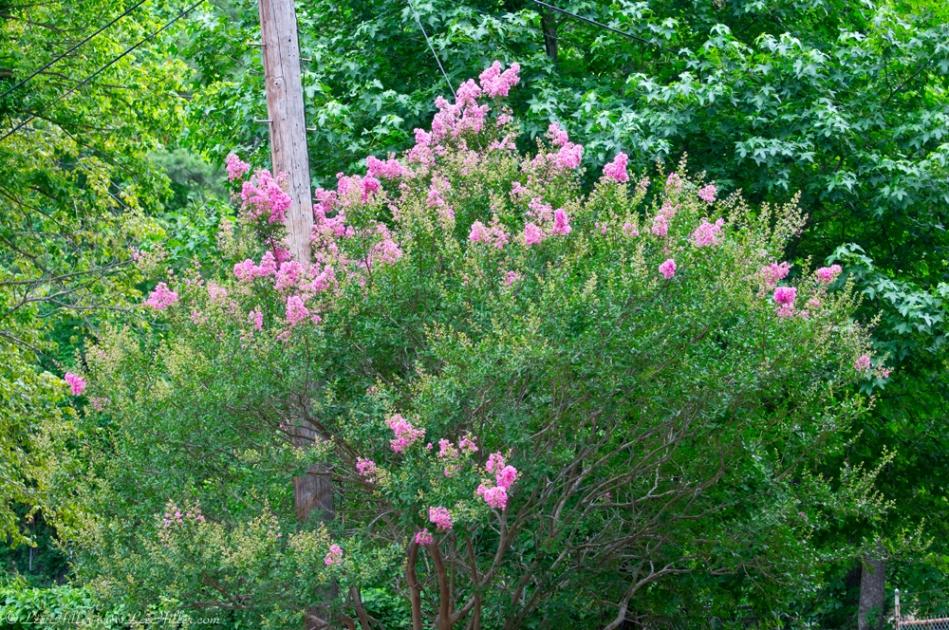 Fountain Street Pink Flowering Bush