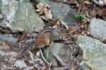 HSNP Fountain Trail Lawn Male Chipmunk