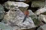 HSNP Fountain Trail Lawn Male Chipmunk
